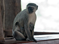 Vervet Monkey, Kruger National Park, South Africa